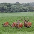 エゾ鹿の群れ