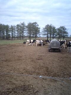 放牧牛群の削蹄